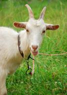 Goat,Eating,Farm,Hungry,Pet...