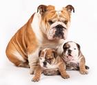 Puppy,Bulldog,Family,Englis...