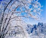 Snow,Branch,Winter,Tree,Cal...