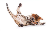 Domestic Cat,Falling,Young ...