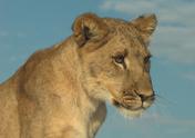 Lion - Feline,Botswana,Zoo,...