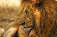 Lion - Feline,King,Tropical...
