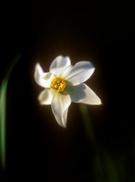 Daffodil,Beautiful,Botany,S...
