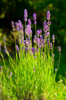 Lavender,Flower Bed,Growth,...