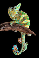 Chameleon,Humor,Bizarre,Ani...