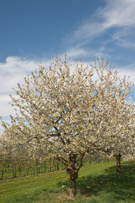 Season,Sky,Springtime,Plant...