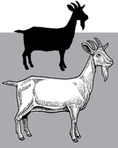 Goat,Silhouette,Livestock,P...