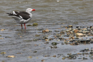 Ushuaia,Bird,Animals And Pe...