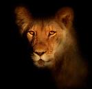 Lion - Feline,Africa,Wildli...