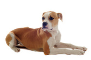 Dog,White Background,Lying ...