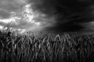 Storm,Dark,Wheat,Corn - Cro...