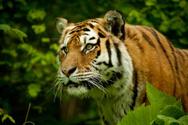 Tiger,Tropical Rainforest,A...