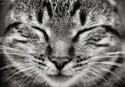 Domestic Cat,White,Close-up...