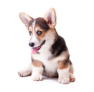 Pembroke Welsh Corgi,Puppy,...