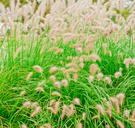 Ornamental Grass,Selective ...