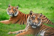 Sumatran Tiger,Big Cat,Tige...