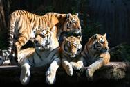 Tiger,Family,Bengal Tiger,U...