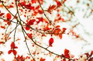 Springtime,Blossom,Japan,Be...