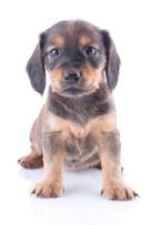 Puppy,Cute,Animal,Small,Bro...