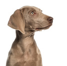 Weimaraner,Dog,Side View,Is...