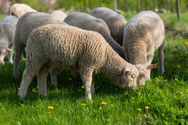 Merino Sheep,Meat,Young Ani...