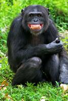 Animal,Humor,Chimpanzee,Lau...