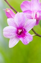 Elegance,Purple,Pink Color,...