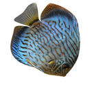 Fish,Discus,Coral Colored,O...