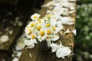 Chamomile Plant,Single Flow...