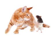 Kitten,Mouse,Domestic Cat,W...