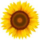 Sunflower,Vector,Ilustratio...