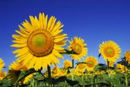 Sunflower,Flower,Summer,Fie...