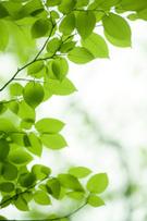Leaf,Tree,Nature,Green Colo...