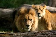 Lion - Feline,Male,South,Fa...