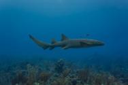Shark,Underwater,Sea,Deep,S...