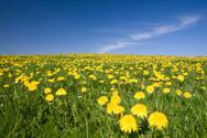 Dandelion,Field,Flower,Mead...