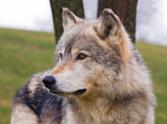 Wolf,Profile View,Wildlife,...