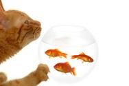 Domestic Cat,Goldfish,Fish ...