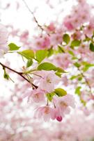 Cherry Blossom,Sweden,Tree,...