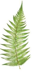 Fern,Leaf,New Zealand,Silve...