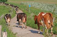 Domestic Cattle,Animal Head...