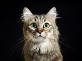 Domestic Cat,Black Backgrou...