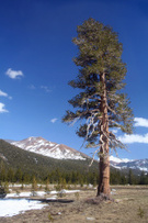 Redwood,Sequoia,Winter,Tree...