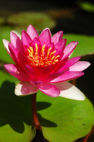 Water Lily,Lotus Water Lily...