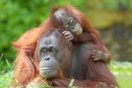 Orangutan,Monkey,Zoo,Animal...