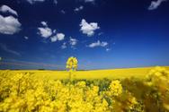 Canola,Field,Oilseed Rape,S...