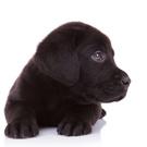 Retriever,Puppy,Cute,Small,...