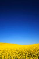 Canola,Field,Oilseed Rape,Y...