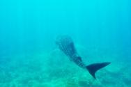 Shark,Fish,Large,Sea,Blue,S...