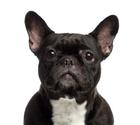 French Bulldog,White Backgr...